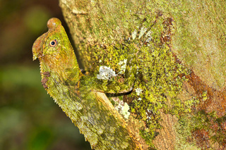 Hump-nosed Lizard, Sinharaja National Park Rain Forest, Sri Lanka