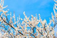 Spring tree blossom sky background