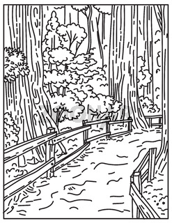 Towering Old-Growth Redwoods in Muir Woods National Monument Part of Golden Gate National Recreation Area California United States Mono Line or Monoline Black and White Line Art