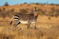 Cape mountain zebra (Equus zebra) in natural habitat