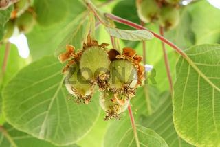 junge Kiwifrüchte an einem Baum in Köln