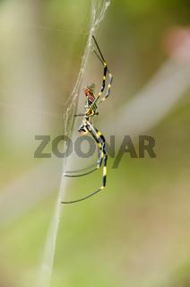 Spinne, Nephila clavata