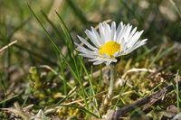 Common daisy, Bellis perennis