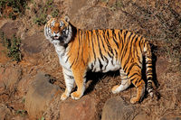 Alert Bengal tiger (Panthera tigris bengalensis) in early morning light