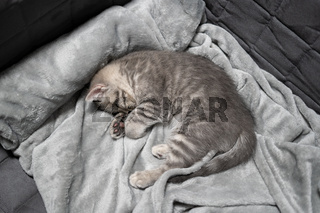 Adorable little pet. Cute child animal. Cute little kitten of gray color of Scottish Straight breed is sleeping sweetly on bedspread at home on couch. British shorthair cat baby naps on a blanket