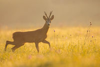 Roe deer buck looking to the camera on grass in morning light