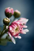 Blüte mit Wassertropfen vor bläulichem Hintergrund