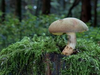 Ziegenlippe, Xerocomus subtomentosus,