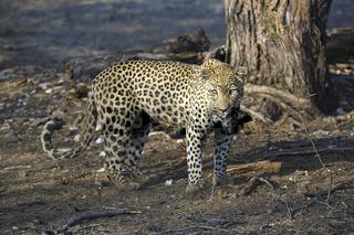 Leopard (Panthera pardus) streift durch sein Revier am Morgen, K