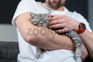Scottish straight-eared gray kitten sleeps in arms of owner of house. Thoroughbred cute little British cat falls asleep in hands of young man. Man and pet theme. Male petting sleeping kitten