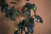 Ficus with fresh leaves on brown wall background.