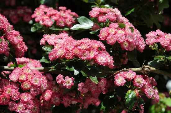 Crataegus laevigata Paul`s Scarlet, Rotdorn, Hawthorn