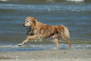 Golden-Retriever am Strand