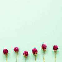 Purple globe amaranth flowers on mint blue background. flat lay, top view, copy space