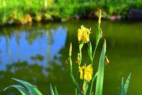 Sumpfschwertlie, Yellow flag, Iris pseudacorus