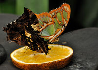 butterfly on citrus