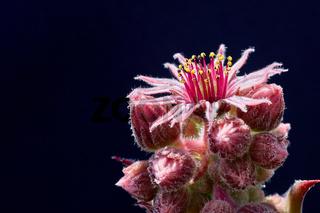 Ein Steingwächs in Blüte. Großblütiger Hauswurz (Sempervivum grandiflorum).