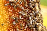 Honigrahmen mit vielen Bienen