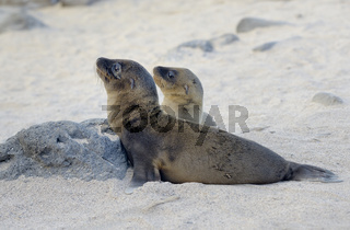 Galápagos sea lion (Zalophus wollebaeki), North Seymour Island, Galapagos Islands, Ecuador