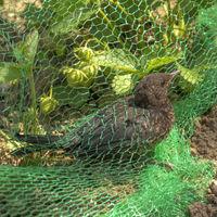 Junge Amsel hat sich in einem grünen Netz auf einem Erdbeerfeld verfangen
