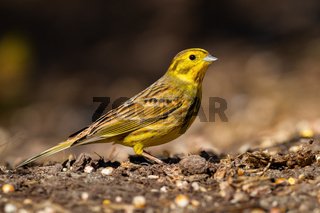 Yellowhammer sitting on ground in sunlight from side