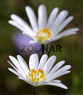 Windröschen, Anemone blanda White Spendour, Balkan anemone