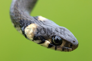 harmless small snake, grass snake, Natrix natrix
