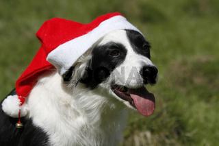 Border Collie mit Weihnachtsmütze