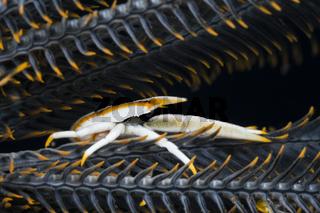 Springkrabbe in Symbiose mit Federstern