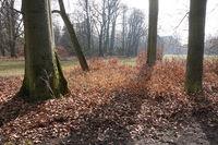 Fagus sylvatica, Rotbuche, beech, Saemlinge, seedlings
