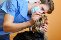 A veterinary ophthalmologist makes a medical procedure, examines a dog eyes blood pressure at a veterinary clinic. Examination of a dog with an injured eye