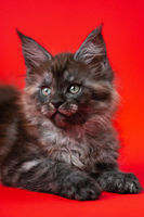 Portrait of little kitty Maine Cat of color black smoke lying down on red background, looking away