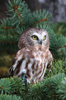 Vertical portrait of a Northern SawWhet Owl