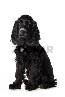 Cocker spaniel puppy on white background
