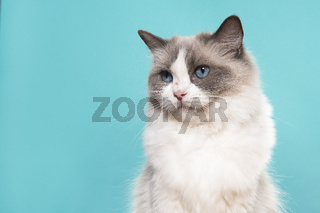 Portrait of a beautiful ragdoll cat with blue eyes looking away on a blue background with space for copy