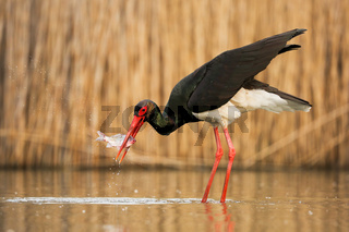 Black stork catching a fish in river in springtime nature