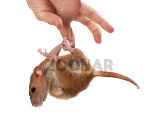 Fancy rat hang on hand