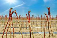 Grapevine vegetative reproduction. Propagation of grapevines, Propagule stem cutting