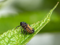 Larva of a ladybug