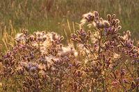 Blüten und Fruchtstände der Acker-Kratzdistel bei Sonnenuntergang