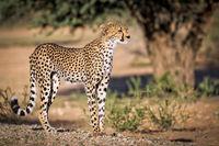 Gepard, Kgalagadi-Transfrontier-Nationalpark, Südafrika, (Acinonyx jubatus) | Cheetah, Kgalagadi Transfrontier National Park, South Africa, (Acinonyx jubatus)
