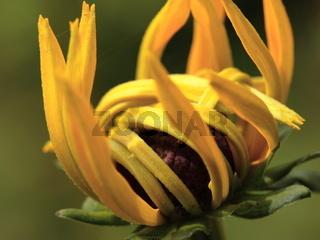 Sonnenhut - Rudbeckia fulgida var. sullivantii `Goldsturm´