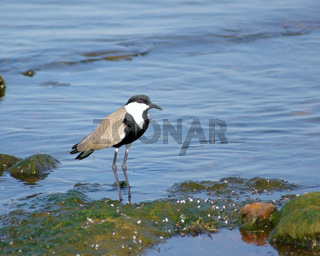 Spur-winged Lapwing in Africa