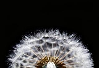 macro of dandelion