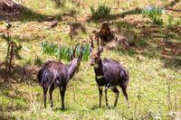 Fighting two male Menelik Bushbuck Bale Mountain, Ethiopia