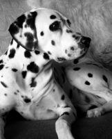 dalmatiner portrait 1