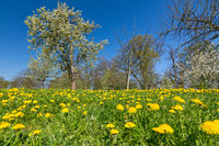 Beautiful flower meadow with green grass, dandelion flowers and trees in spring
