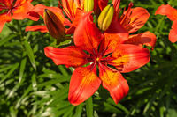 Red-orange flowers of blooming lily