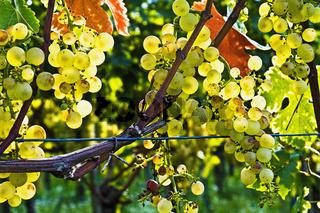 Weißweintrauben kurz vor der Lese