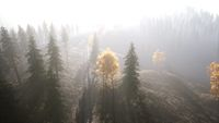 Aerial view of the beautiful autumn forest at sunset with green pine trees